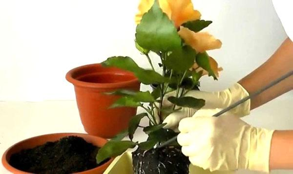 Пересадка цветка в просторный горшок