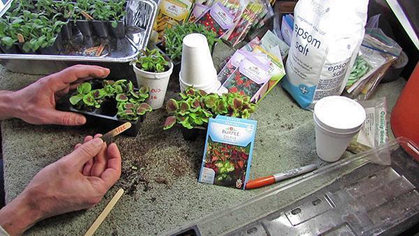 Пересадка сеянцев в отдельные горшки