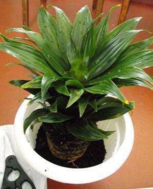 Перевалка растения в большую емкость