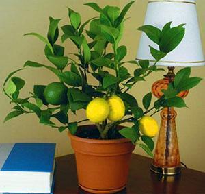 Первые плоды молодого растения