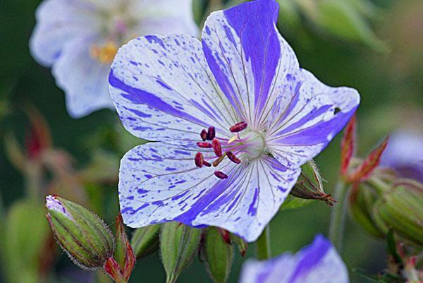 Пестрые цветы луговой герани
