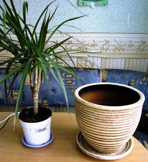 Как пересадить драцену в домашних условиях пошагово с фото 365