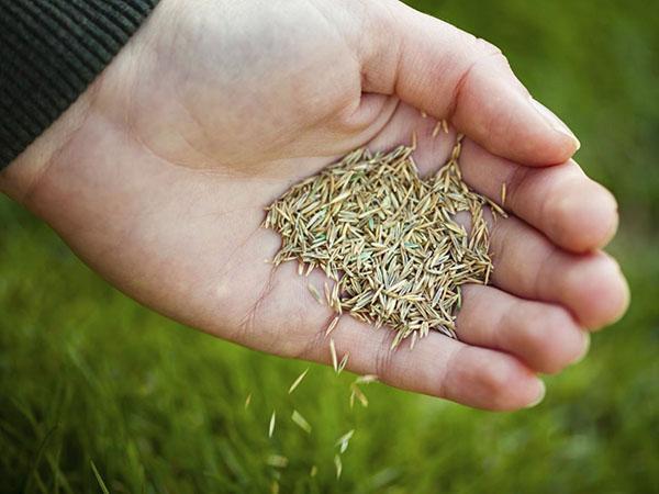 Посев травы на газоне