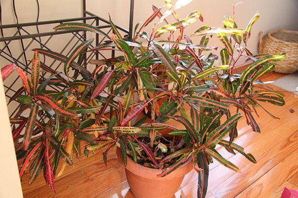 При излишней сухости воздуха листва кротона теряет свою декоративность
