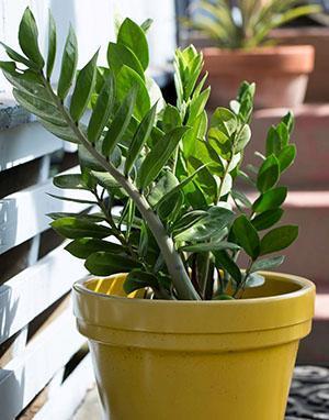 При комфортных условиях растение быстро наращивает зеленую массу