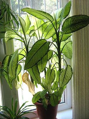 Почему у диффенбахии желтеют листья, болезни комнатного цветка, видео