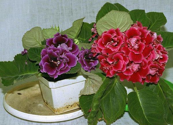 При правильном уходе глоксиния из клубня начинает цвести
