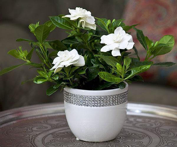 При правильном уходе растение порадует обильным цветением