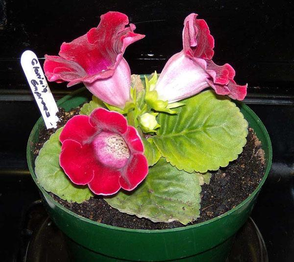 При высокой температуре растение теряет свою декоративность