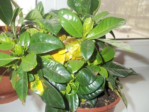 Приболела гардения - желтеют листья