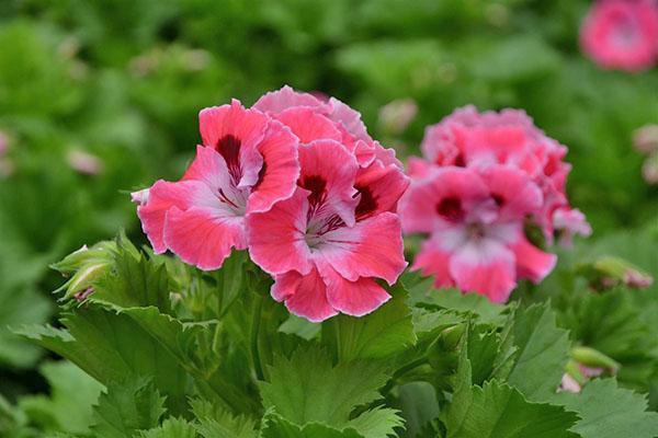 Пышное цветение обеспечит обрезка