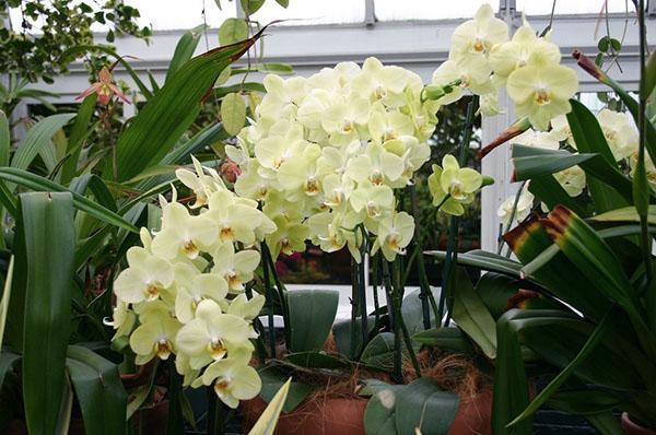 Размножение орхидеи в домашних условиях