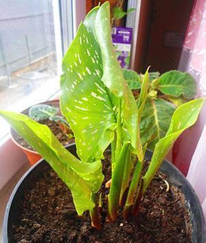 Растение нуждается в удобрениях с содержанием фосфора и азота