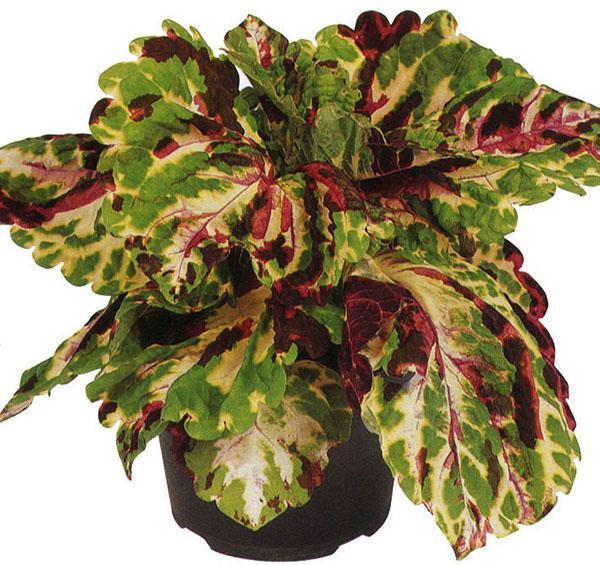 Растение украсит своим видом любое место в доме и саду