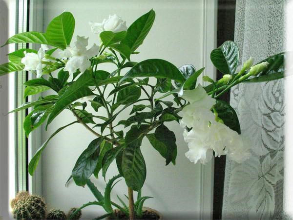 Растению нужен умеренный полив