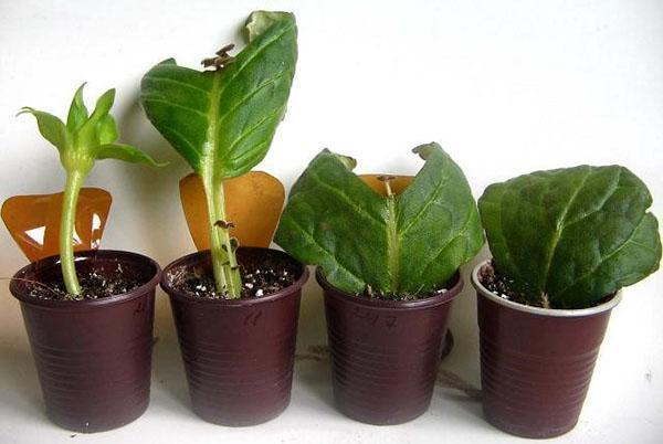 Размножение глоксинии листом и цветоносом
