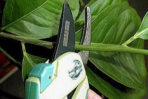 Регулярная обрезка помогает формировать крону и получать стабильный урожай