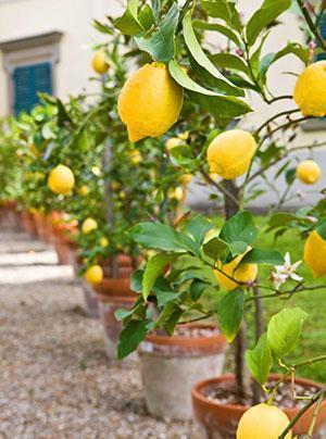 Как привить лимон в домашних условиях, чтобы он плодоносил, прививка лимона по правилам, видео