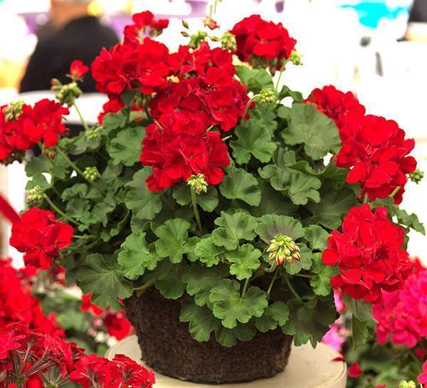 Сорт комнатной герани Calliope Dark Red