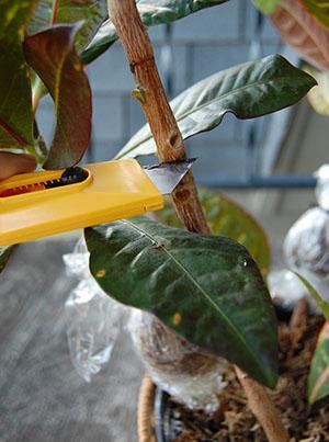 Кротон уход в домашних условиях размножение