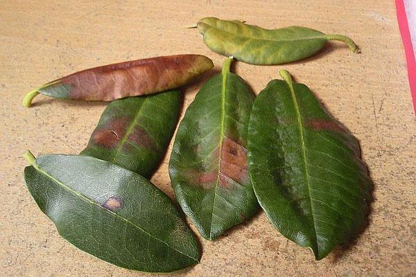 Сухие пятна на листьях