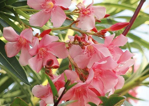 Цветок олеандр фото