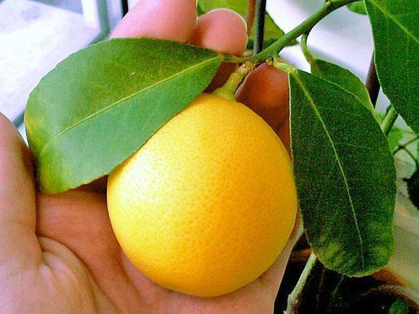 Удивительный комнатный лимон Мейера