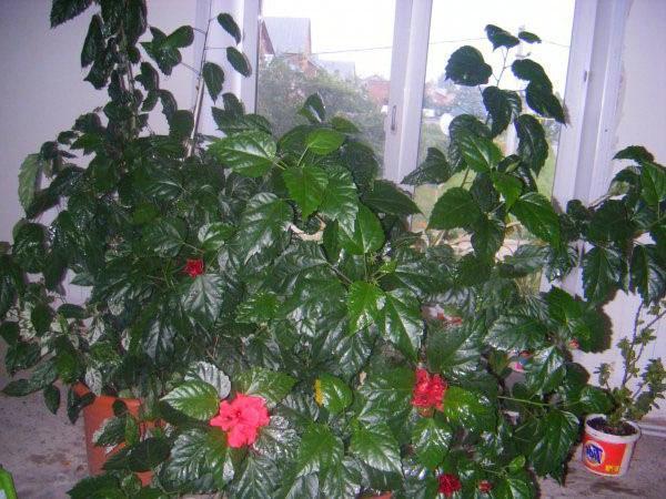 Китайская роза выращивание и уход в домашних условиях 41