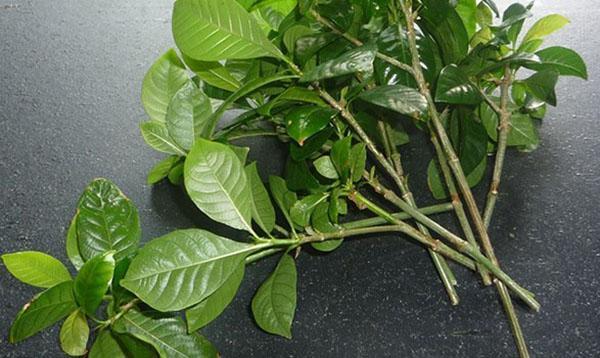 Вегетационный способ размножения гардении