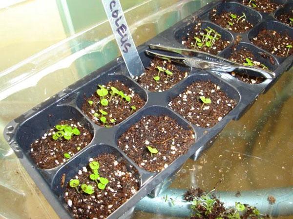 Колеус - выращивание из семян в домашних условиях, фото, видео