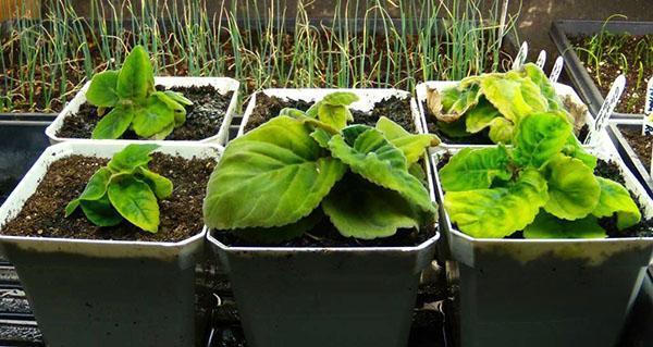 Выращивание глоксинии из клубней
