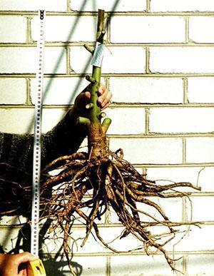 Взрослое растение гибискуса
