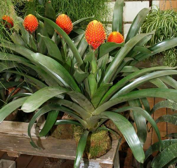 Яркое цветение гузмании Конифера