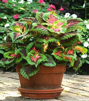 Яркое, привлекательное растение - колеус