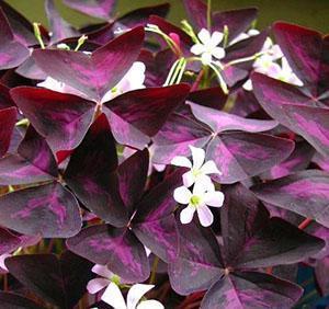 Эффектная листва и цветы кислицы фиолетовой