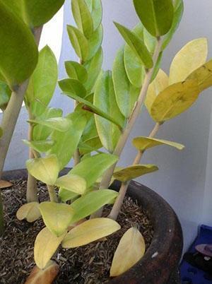 Желтеет листва замиокулькаса