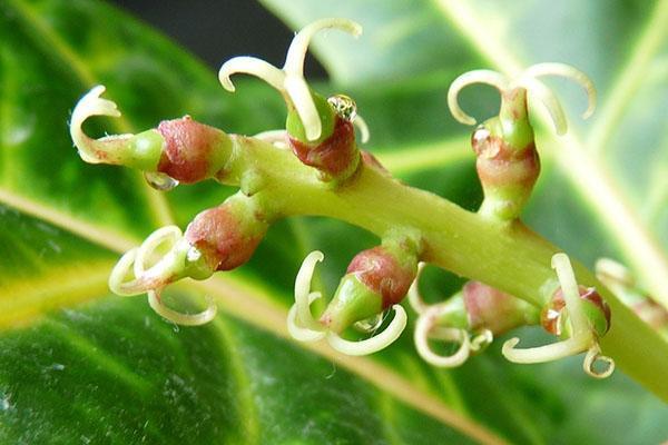 Женские цветки кротона