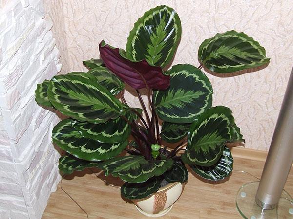 За хорошее содержание растение отблагодарит чудесным внешним видом