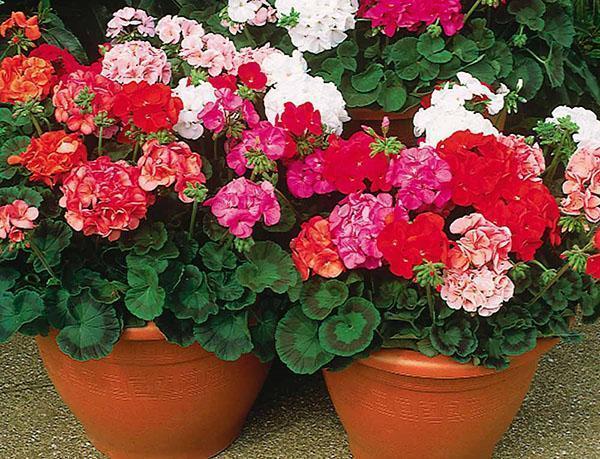 Зональные комнатные герани разных расцветок
