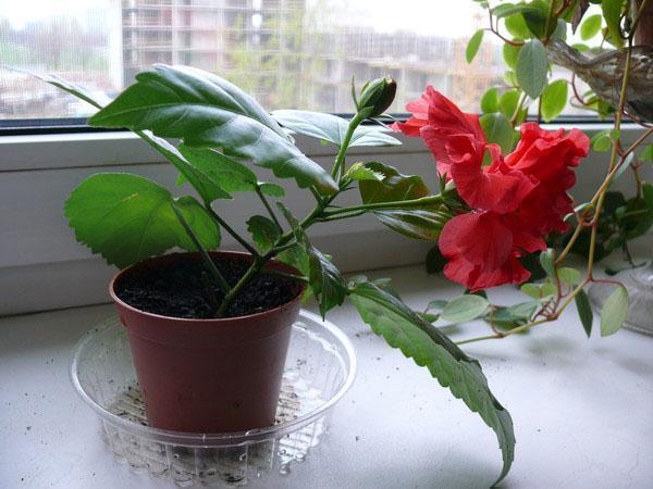 первое цветение гибискуса
