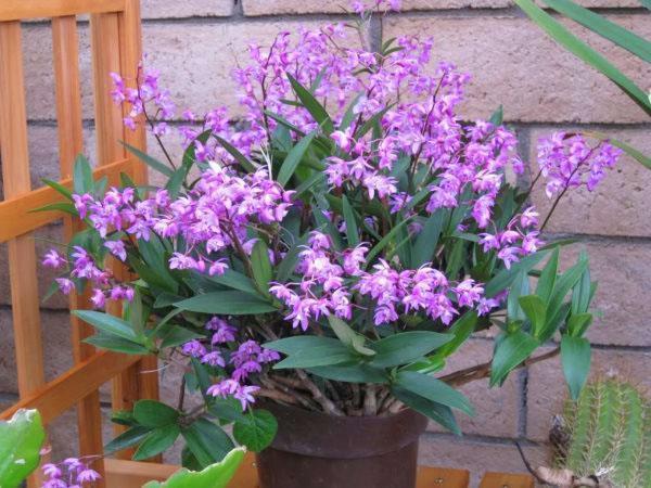 Активный рост и цветение орхидеи дендробиум приходится на летние месяцы