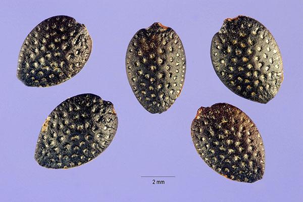 Пассифлора из семян - выращивание и уход в домашних условиях, полезные свойства и противопоказания съедобной пассифлоры, видео