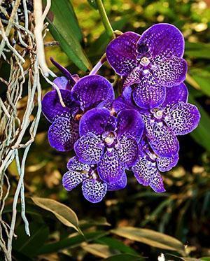 Чудесная орхидея Ванда