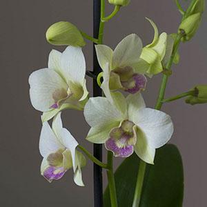 Цветение орхидеи дендробиум нобиле