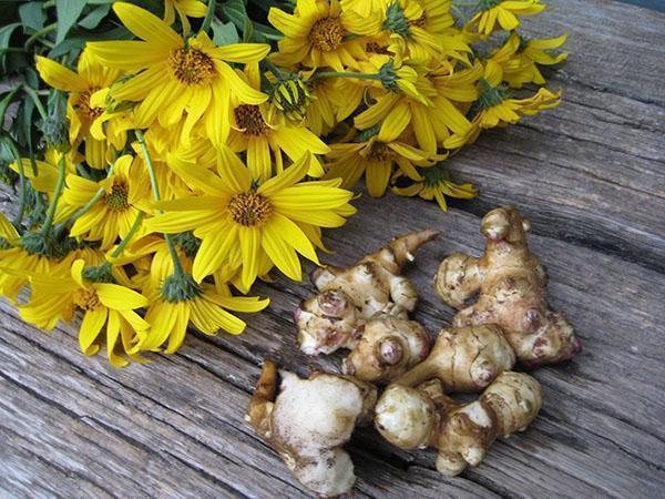 Цветы и картофелины топинамбура