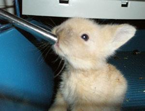 Декоративный кролик пьет воду