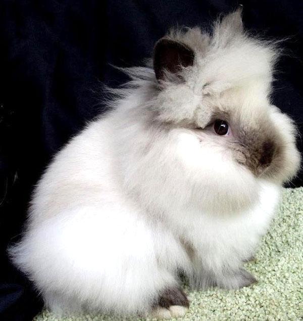 Длинношерстный декоративный кролик