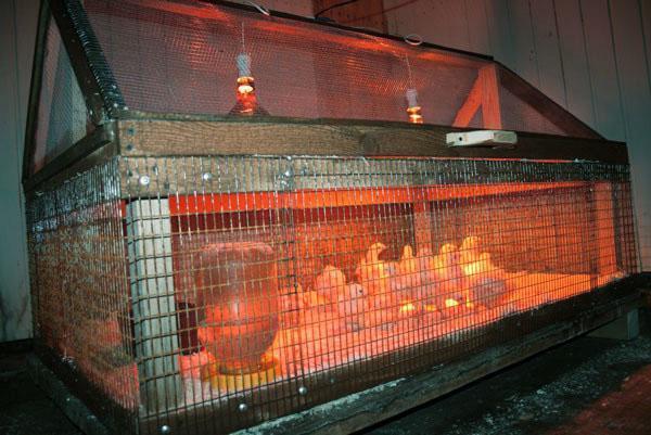 Для активного роста птенцов используют лампы с голубым и зеленым оттенком
