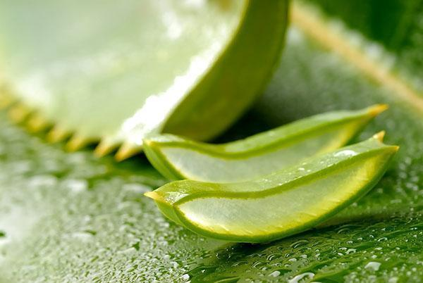 Для приготовления экстракта алоэ используют взрослое растение