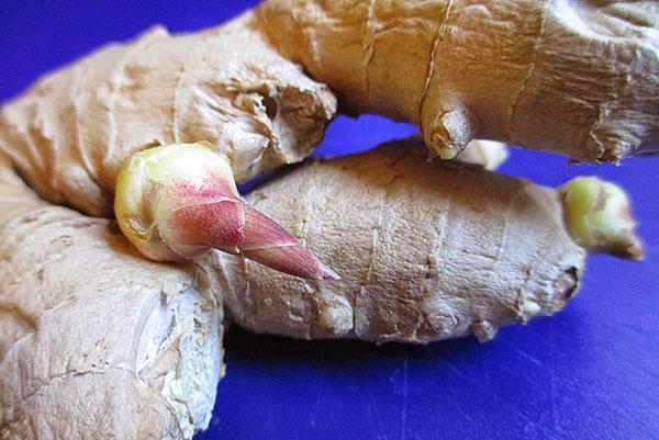 Для выращивания имбиря дома можно купить корень в магазине